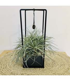 Tillandsia cube medium A