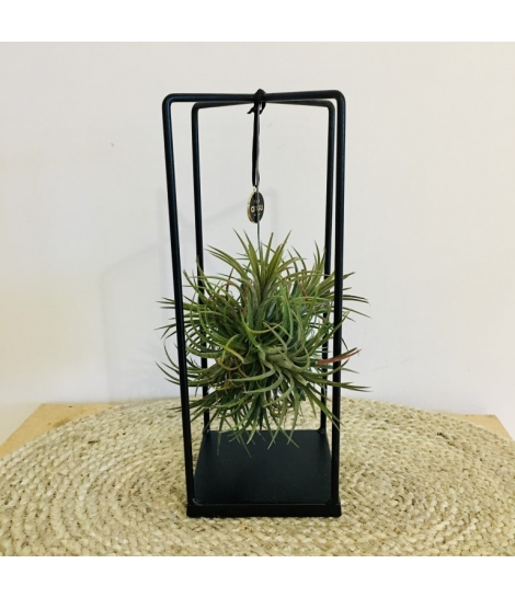 Tillandsia cube medium B